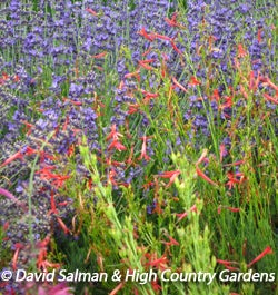 Penstemon pinifolius 'Nearly Red' with Lavandula angustifolia 'Buena Vista'