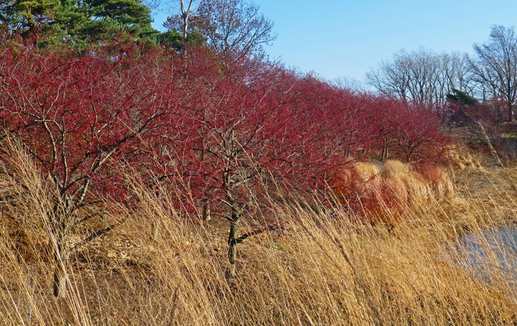 Crabapple Trees In Fruit, Chicago Botanic Garden