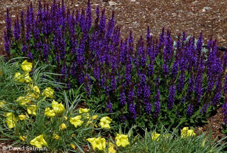 Salvia sylvestris Little Night Oenothera Shimmer