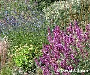Salvia reptans with Agastache Ava
