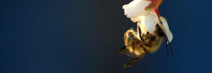 bumblebee on Viburnum