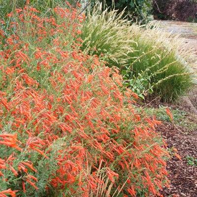 Zauschneria canum var. arizonica Sky Island Orange