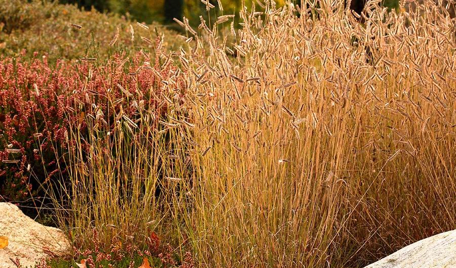 Blue Grama Grass Seed