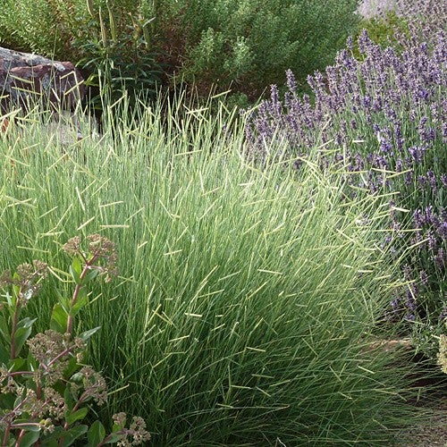 Blonde Ambition Grass
