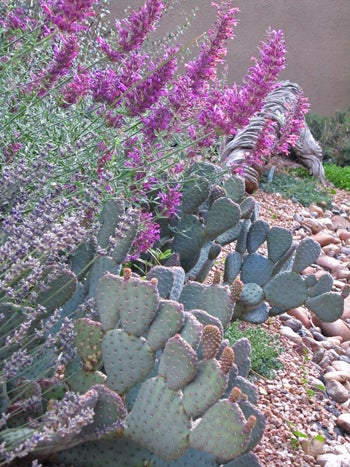 Cactus with Agastache Rosita in a rock garden.
