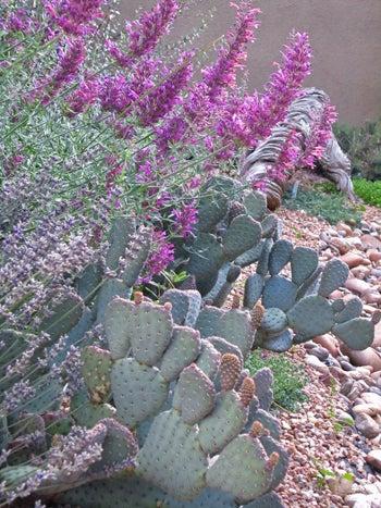 Cactus with Agastache Rosita in a rock garden.