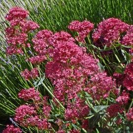Centranthus Ruber Roseus
