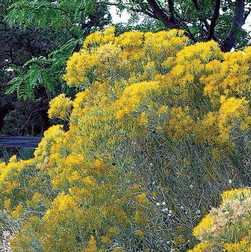 Yellow Twig Rabbit Brush