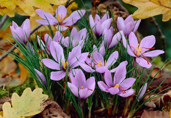 Saffron crocus.