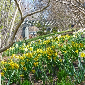 A drift of daffodils at the Denver Botanic Garden