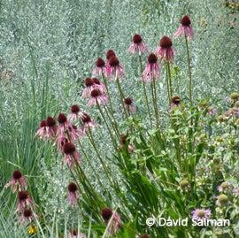Echinacea angustifolia Artemisia