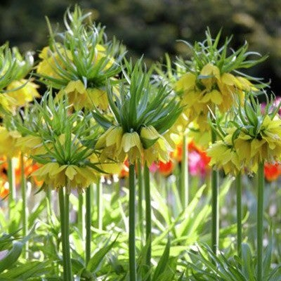Fritillaria lutea (Yellow Crown Imperial)