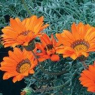 Gazania krebsiana Hantamburg Orange