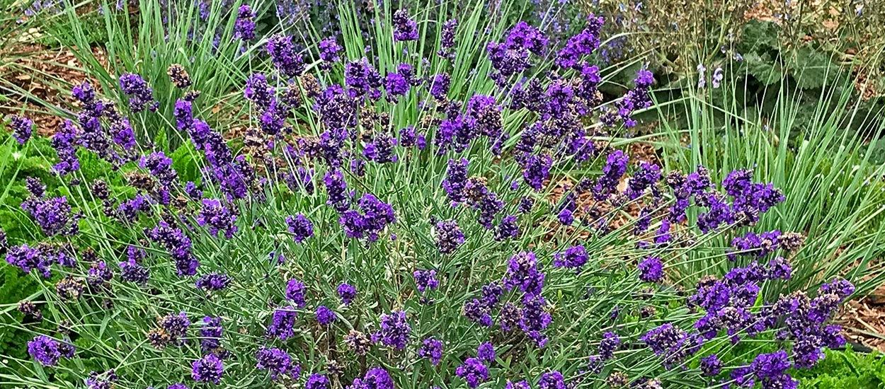 FlowerKisser After Midnight English Lavender full size