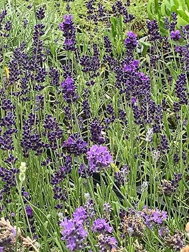 Buena Vista Lavender with After Midnight English Lavender