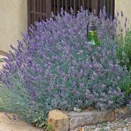 Lavandula 'Silver Frost' hybrid lavender