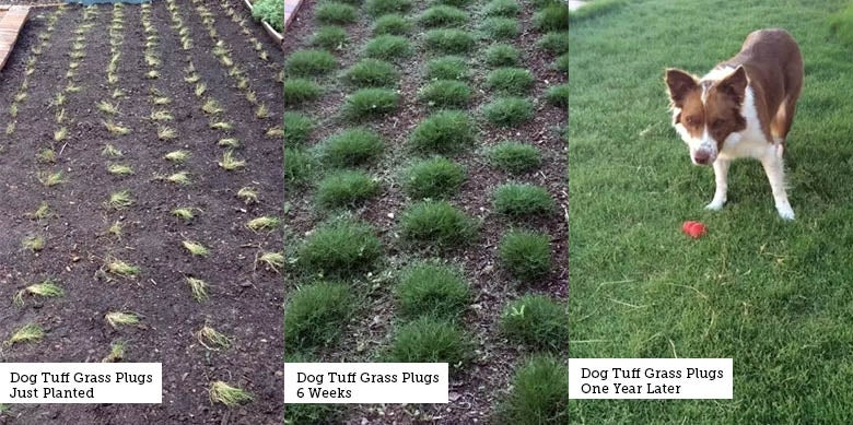Dog Tuff Grass Plugs Just Planted, 1 Month, 1 Year