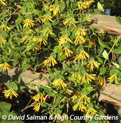 Lonicera sempervirens 'Sulphurea' is great for attracting hummingbirds.