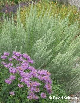 Monarda fistulosa 'Wichita Mountains' Artemisia filofolia