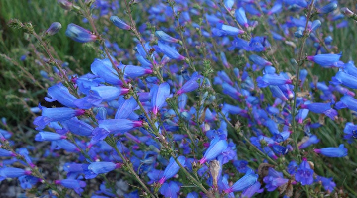Penstemon heterophyllus Electric Blue