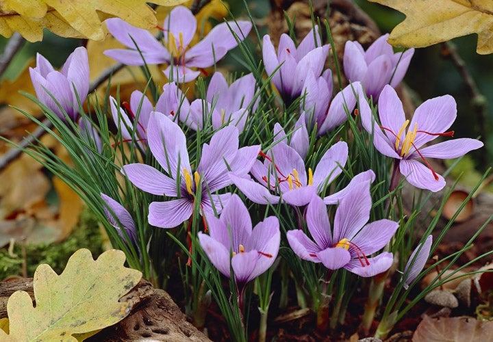 Saffron Crocus (Crocus sativus) blooms in fall.