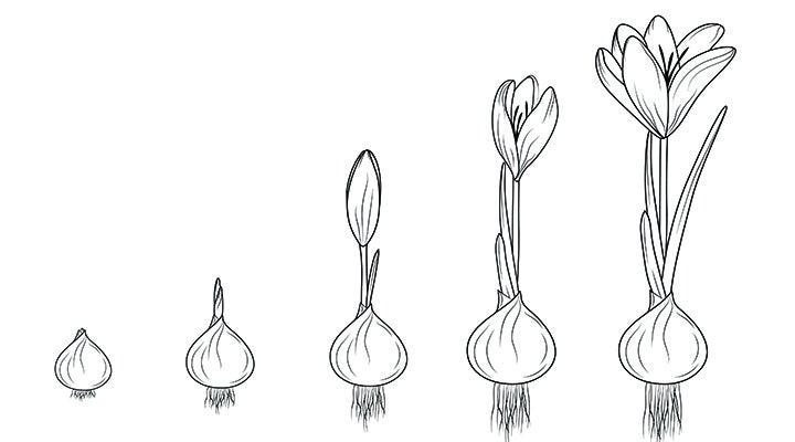 Saffron Crocus illustration.