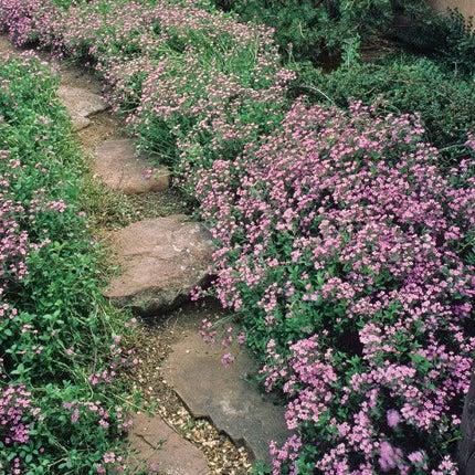 Soapwort (Saponaria ocymoides)