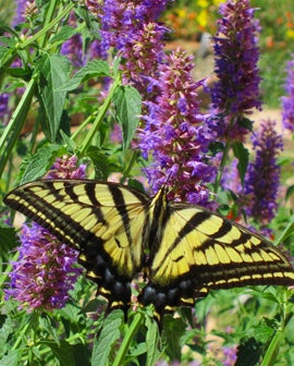 Spotted Swallowtail Butterfly on Agastache Blue Blazes