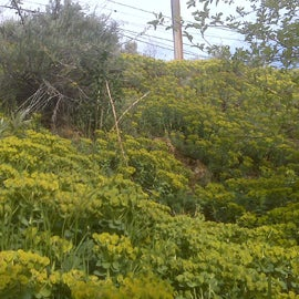 Spurge carpeted the slope.