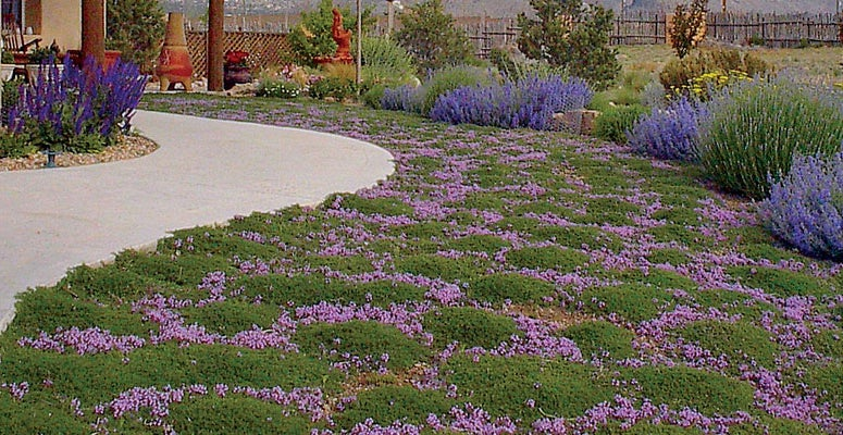 Groundcovers you can step on the high country gardens blog for Low maintenance ground cover ideas