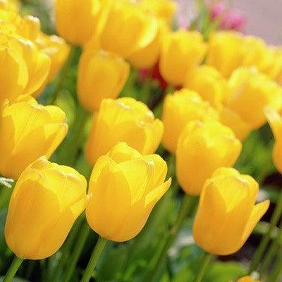 Tulipa 'Golden Apeldoorn'