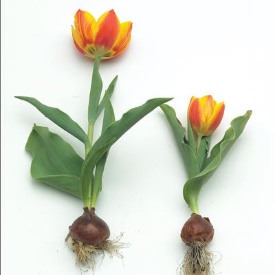 Growing tulips planting tulip bulbs high country gardens for Tulipe bulbe