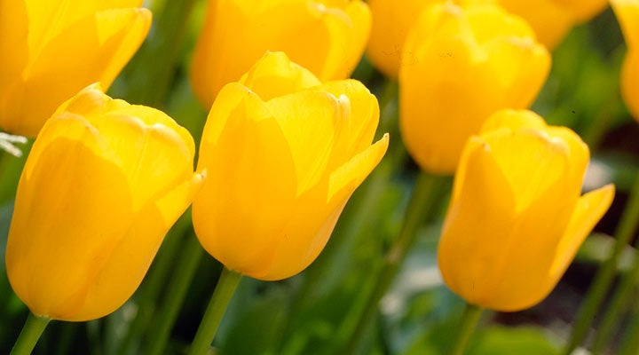 Darwin Tulips Apeldoorn