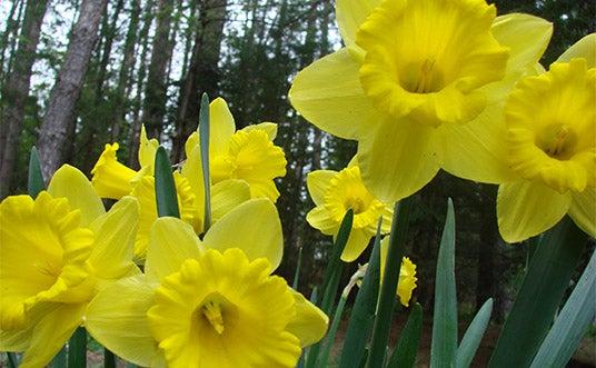 Yellow Dutch Master Daffodil