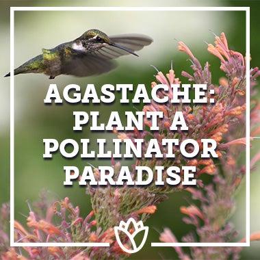 Agastache: Plant A Pollinator Paradise