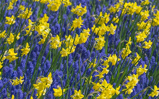 Yellow daffodil and blue hyacinth