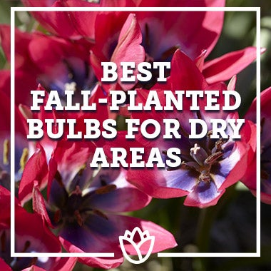 Best Fall-Planted Bulbs For Dry Areas