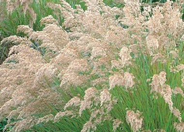 Ornamental Grass