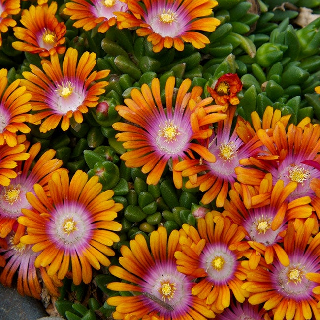 How To Grow And Care For Ice Plant Delosperma High Country Gardens