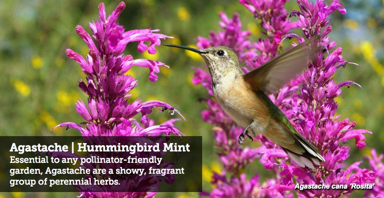 Agastache | Hummingbird Mint - Essential to any pollinator-friendly garden, Agastache are a showy, fragrant group of perennial herbs.