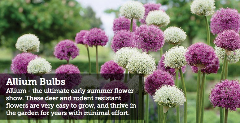 Allium - the ultimate early summer flower show. These deer and rodent resistant flowers are very easy to grow, and thrive in the garden for years with minimal effort.