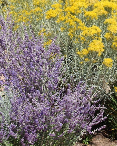 Silver Leaf Rabbitbrush provides a silvery-grey backdrop with yellow flowers, to offset Perovskia (russian Sage)
