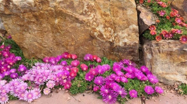 Ice Plant (Delosperma) does well against south-facing walls or near rocks