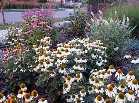 White Swan Coneflower stars in this pollinator garden.