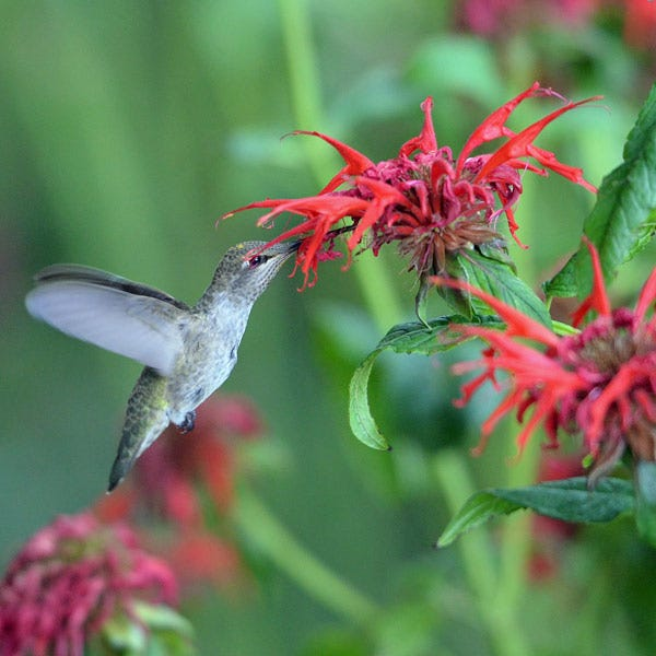 Monarda (Bee Balm)