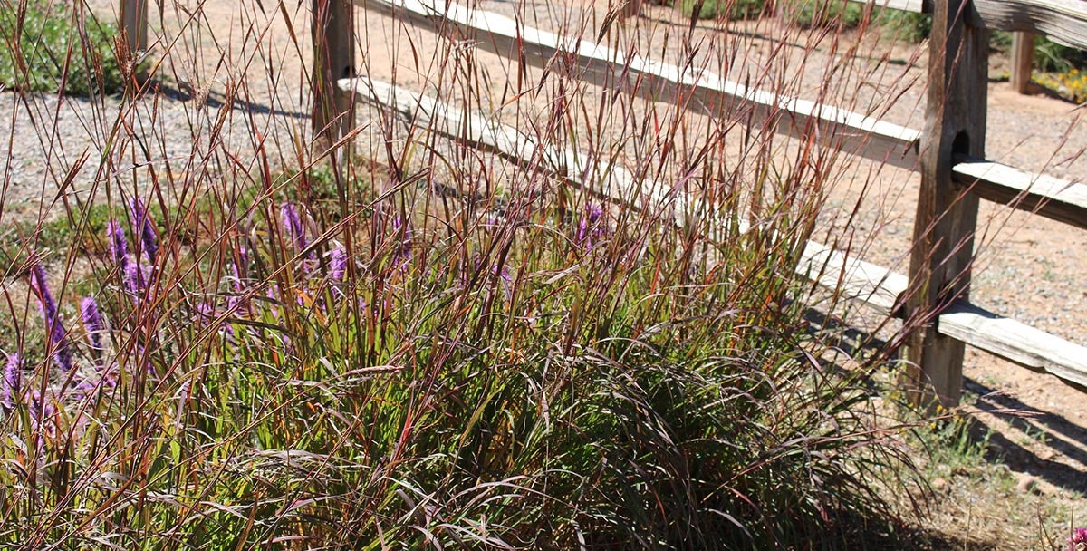 Ladybug Red Big Bluestem Grass (Andropogon gerardii Ladybug Red)