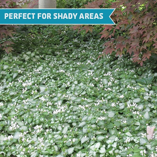 White Nancy Deadnettle (Lamium maculatum) is the perfect groundcover for a shady area and takes moderate foot traffic.