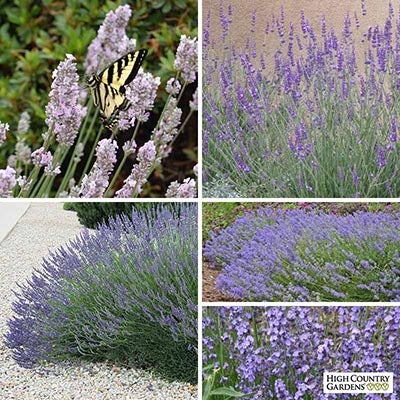 Long Blooming Lavender Collection