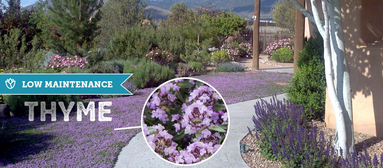 From mid-May to mid-June the Thyme is in full bloom. One of the biggest benefits of a Thyme lawn is that it is low-maintenance.