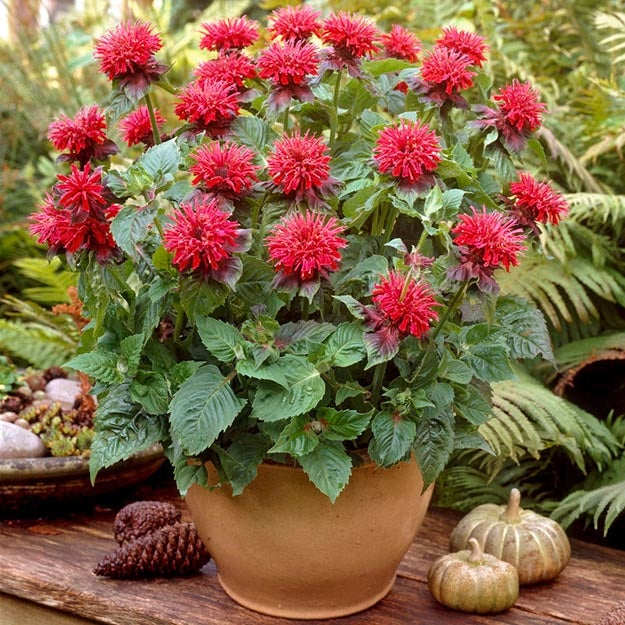 Red monarda (bee balm) growing in container